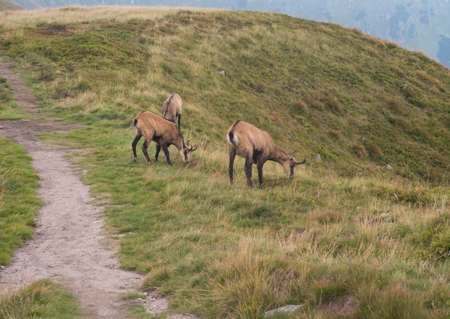 Group of Tatra chamois, rupicapra rupicapra tatrica grazing standing on a footpath at summer mountain meadow in Low Tatras National park in Slovakia. Wild mamal in natural habitat, nature photography.