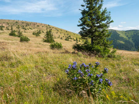 View of mountain meadow, grassy green hill slope with blue blooming gentian flower bush, spruce tree and pine scrub at ridge of Low Tatras mountains, Slovakia, summer sunny day 免版税图像