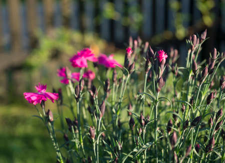 Close-up blooming carnation glory flowers, Dianthus caryophyllus, clove pink, species of Dianthus deltoides, vibrant color bokeh garden background, selective focus