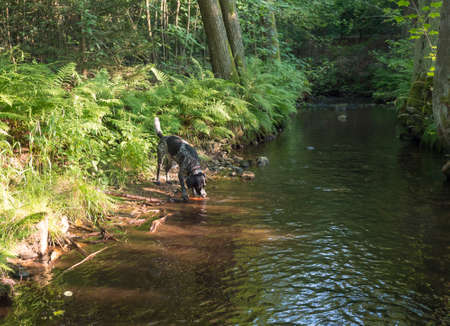 Black gray hunting dog crossbreed labrador playing and retrieving stick in mouth at summer forest creak with lush green fern and trees. Selective focus