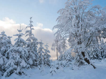 Beautiful snowy frozen broadleaf tree and small spruce trees over blue sky background. Snow covered fairytale tree in winter.