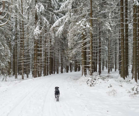Snowy road in winter forest with snow covered spruce trees and walking black grey hunting dog. Brdy Mountains, Hills in central Czech Republic.