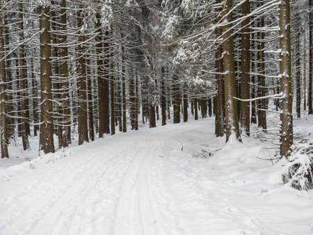 Snowy road curve at winter forest with snow covered spruce trees and walking black grey hunting dog. Brdy Mountains, Hills in central Czech Republic.