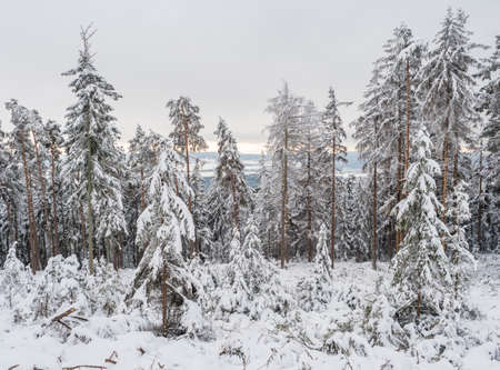 View of winter landscape with fields downhill over snowy spruce tree forest with snow covered conifers. Brdy Mountains, Hills in central Czech Republic, cloudy evening