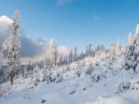 Snowy winter forest with small young snow covered spruce trees. Brdy Mountains, Hills in central Czech Republic, sunny day Stok Fotoğraf