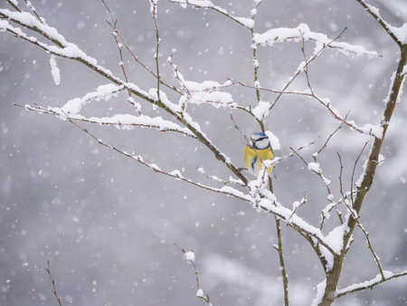 Eurasian blue tit, Cyanistes caeruleus bird perched on snow covered oak branch at winter time during heavy snowfall. Selective focus