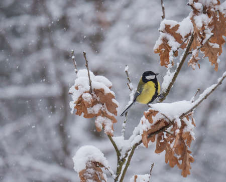 Great tit, Parus major bird perched on snow covered oak tree branch at winter time during heavy snowfall. Selective focus.