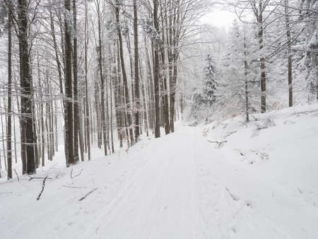 Snowy road with cross country skiing route at winter forest with snow covered trees. Luzicke hory Lusatian Mountains