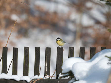 Close up Great tit, Parus major bird perched on snowy wooden plank fence, winter. Selective focus, copy space.