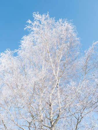 Beautiful snowy frozen broadleaf birch tree over blue sky background. Snow covered fairytale tree in winter.