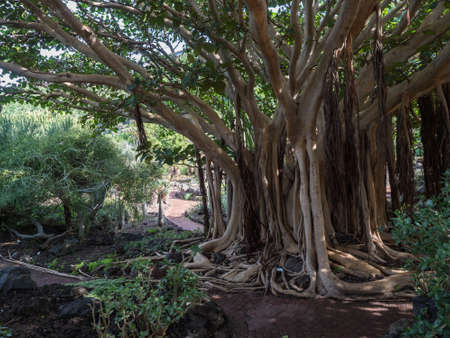 View of giant Ficus socotrana with vertical roots in botanical garden, Jardin Botanico Canario Viera y Clavijo, Tafira, Gran Canaria, Canary Islands, Spain Imagens