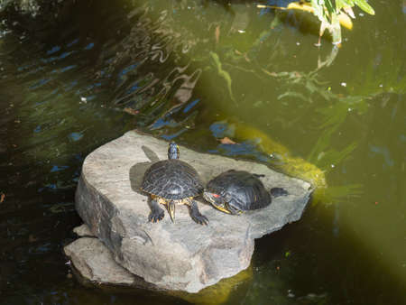 two red-eared slider turtle, Trachemys scripta elegans standing on stone at green pond water