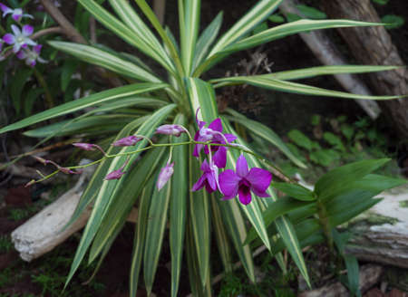 Beautiful stem of vibrant purple colored orchid flowers isolated on green leaves background. Imagens
