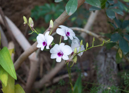 Beautiful stem of white purple colored orchid flowers isolated on green leaves background.