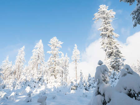 Beautiful snowy trees over blue sky background. Snow covered frozen pine forest in winter.