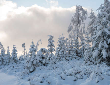 Beautiful snowy trees over pink cloud background. Snow covered frozen pine forest in winter.