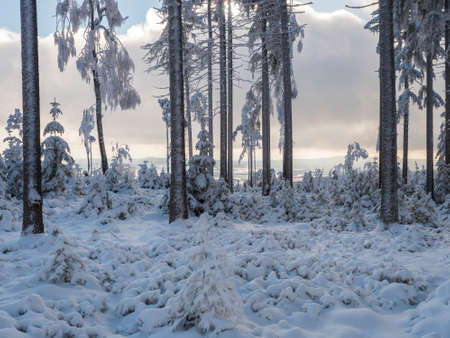 Snowy winter forest with small young snow covered spruce trees. Brdy Mountains, Hills in central Czech Republic, sunny day Imagens