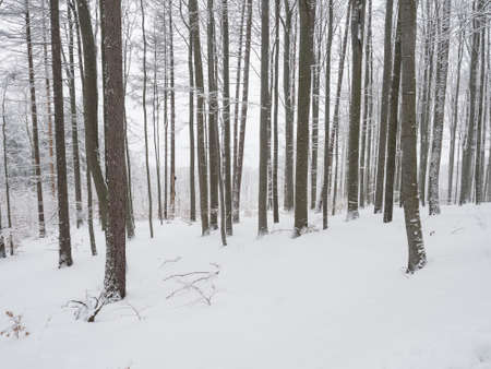 Snow covered forest with snowy beech and spruce trees. Monochromatic landscape, natural winter background