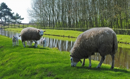 Sheeps and lambs in a meadow in Hazerswoude, The Netherlands Stock Photo - 15464991