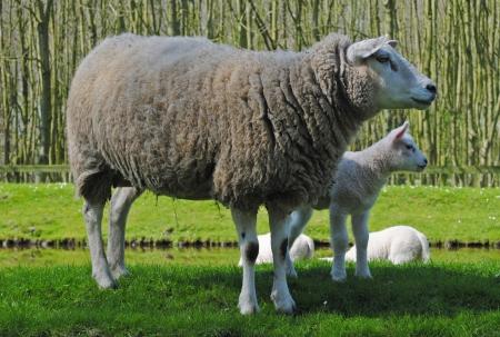 Madre ovejas y sus corderos en un prado en los Países Bajos Foto de archivo - 15478569