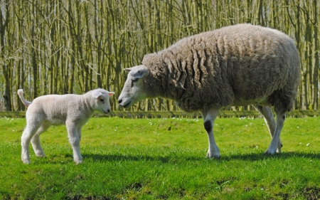Mother sheep and her lamb in a meadow in The Netherlands  Stock Photo - 15464994