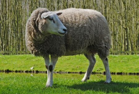 Mother sheep in a meadow in The Netherlands