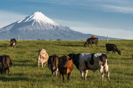 An images of cows eating in front of Mount Taranaki New Zealand