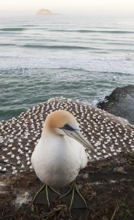 Gannet on Muriwai Beach