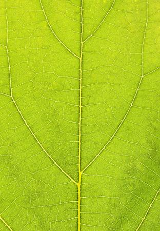 Fresh green leaf texture macro close-up