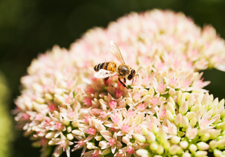 Bee collects nectar from a  flower