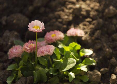 Pink bellis perennis flowers in the sun Stockfoto