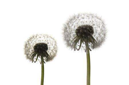 dandelions on a white background Foto de archivo