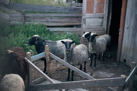 A flock of sheep stands in the yard waiting for the shepherd