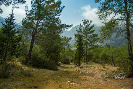 High mountains and green pine forest in the afternoon in summer