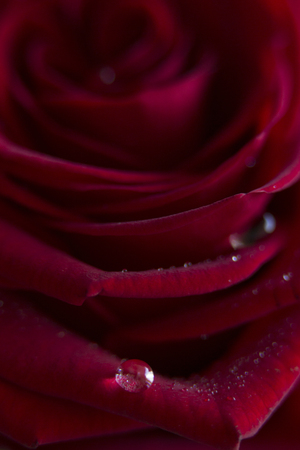 A beautiful dew drop on a petal of a red rose
