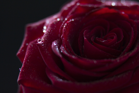 Beautiful light reflecting dew drops on a stunning red rose.