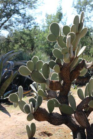 Large green cactus in the Botanical Garden of Lokrum Island, near Dubrovnik, Croatia
