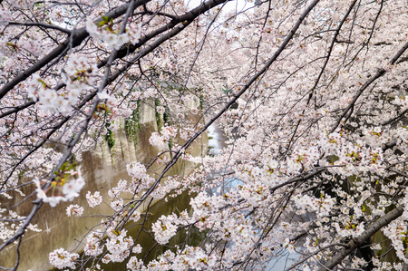 no water: Cherry Blossom at Nagameguro canal
