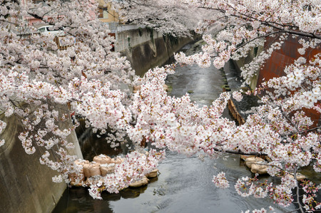 no water: Beauty Cherry Blossom over the river -spring-tokyo Stock Photo