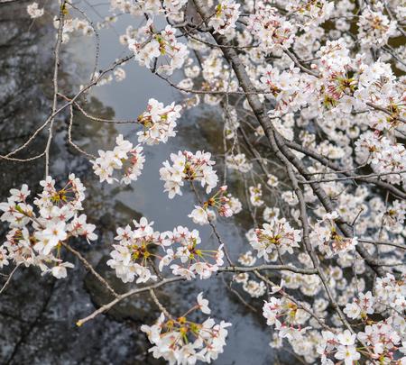 'no people': Blooming Sakura branch above canal in Tokyo-Japan Stock Photo