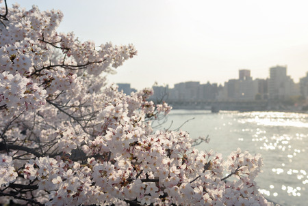 no person: Cherry Blossom Flower and the river on the background