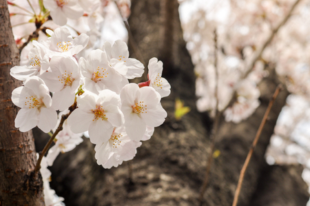 cheery: Sakura-Cherry Blossom flowers on a background of Cheery Blossom tree Stock Photo