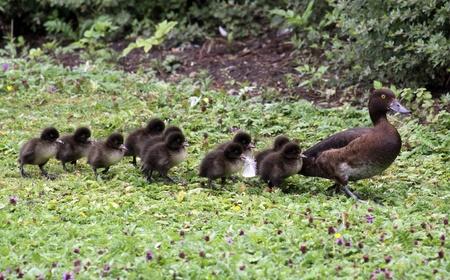 pollitos: familia de patos Foto de archivo