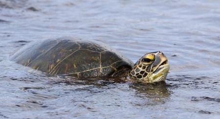 chelonia: green turtle (chelonia mydas) near kona (big island, hawaii)