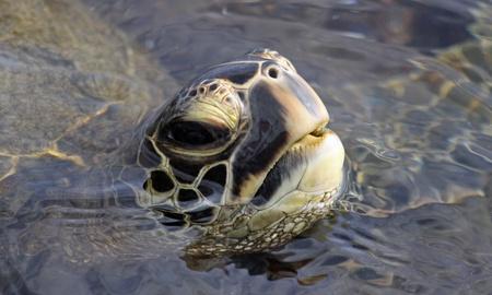chelonia: close-up of a green turtle (chelonia mydas) near kona (big island, hawaii)