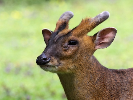 asia deer: Portrait of a Chinese Muntjac 02