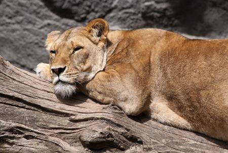 slumbering: female lion
