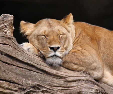 slumbering: sleeping female lion