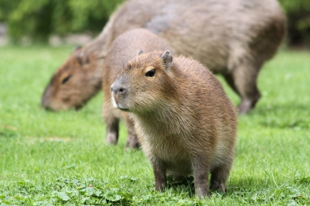 Young Capybara is sitting in front of his mother
