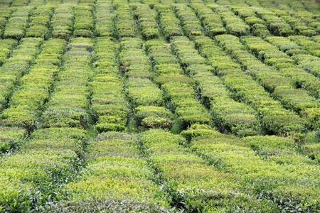 Tea fields at Sao Miguel (Azores Islands) photo